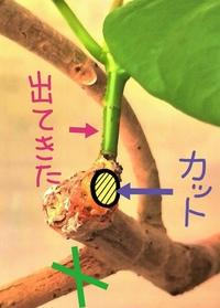 ◆ウンベラータ剪定  お世話になります。 以前こちらで剪定についてお伺いしたときに、 「枝の付け根から切れば新しい芽は出ない」 とのことで実行したのですが出ていました。 画像を見ていただきたいのですが、左下の緑色バツのところを今回切りたいのですが、どうやったら新しい芽は出ないでしょうか。 どうぞよろしくお願いいたします。
