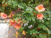この花何ですか? 鎌倉の妙本寺の境内で咲いていました。