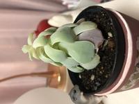 現在、多肉植物の「エケベリア属/サブセシリス」という植物を自宅の室内で育てています。 PCデスク横の棚にいつも置いてあり、たまに乾燥すると水をやる程度なのですが、日当たりはあまり良く ありません。 今年の年初めに購入し、それからずっと同じ環境で育てていますが、古い葉は枯れてきてはいるものの、すくすくと育っています。 ネットで調べたところ、他の人が育てているサブセシリスの画像と育ち方が全...