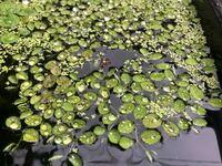浮草の名前を教えてください。 写真の葉っぱの大きい方の水草の名前わかる方いたらおしえてください。 オオサンショウモとかでしょうか?