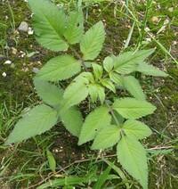 この植物の名前は?  家の庭にいつの間にか生えてきた、この植物。 普通の雑草より大きくなりそうですが、何でしょうか?
