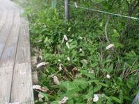 この花の名前を教えてください 撮影場所…長野県中部 八島湿原(高層湿原) 撮影日時…7月20日AM 尾っぽのような花でした。よろしくお願いします。