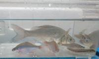 子供の自由研究に、外来生物を調べています。 岐阜県在住で、私はセンパラだと思いますが、こちらのカラフルな魚は外来種のタイリクバラタナゴ、在来種のニッポンバラタナゴのどちらでしょうか?図鑑によってバラ...