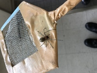 クモ画像注意!!【コイン50枚】 このクモの名前がわかる方いらっしゃいますか? 見た目からヤマトコマチグモかカバキコマチグモではないかと思ったのですが、どうでしょうか?