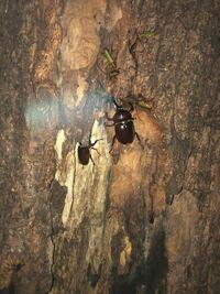 カブトムシの周りにいるカミキリムシは、 何カミキリか分かりますか?