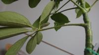 カポックの病気と対処法について教えて下さい。 4月に引っ越しをしてから、カポックの葉が落ちるようになりました。 茎を良く見ると楕円形のプツプツがあります。 虫ではないようで、拭くと取れます。 プツプツが多くある茎は元気がないです。  よろしくお願いします。