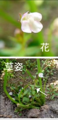 最近よく見るこのツタバウンランやトキワハゼに似た花をつける植物の名前を教えて下さい。