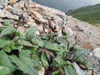 先週末に塩見岳~間ノ岳に行ってきたのですが、わからない花があるので教えてください! 開花が過ぎて枯れたものだと思いますが、わかりません。よろしくお願いします。