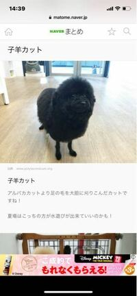 トイプードルの子羊カットに関しての質問です。 愛犬の毛をもう少し伸ばして、写真のようなカットにしたいのですが、どれくらいの長さが必要かわかる方いらっしゃいましたら教えてもらいたいです。