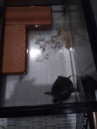 ミドリガメ(ミシシッピアカミミガメ)について 写真のように、水がすぐ汚れてしまいます これって普通でしょうか?  また、汚れが溜まりにくくする方法を教えて下さい
