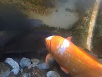 金魚について質問です! 10年ほど前に金魚すくいで家族になった金魚なのですが、一匹だけ赤と白の模様になりました。 これは何か別の品種なのですか? わかる人がいれば教えて下さい!