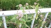 この野草の名前を教えてください。  埼玉で今、紫の花(白混じり)を咲かせているつる性の野草です。  葉は対生してます。