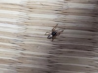 この蜘蛛はセアカゴケグモのオスでしょうか? 家にいました。