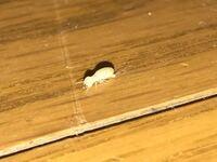 家の中で謎の虫が大量発生しています。助けてください。幼虫ですかね?教えてください。助けてください。