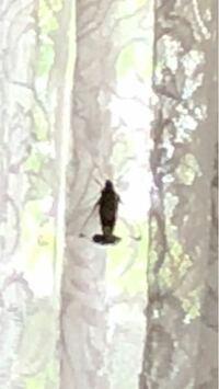 家の中にいたのですが、これはなんという虫ですか?体長5センチくらいでこげ茶色でめちゃくちゃ飛んでいました。ゴキブリではないかんじでした。画像荒くて申し訳ないです!