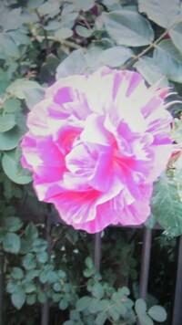 通りすがりで綺麗なバラを見つけシャッターを押しました。 はっきり写ってませんが、このバラの種類が分かる方教えてくださいますか!