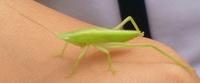 このバッタみたいな虫は何ですか?