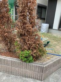 除草剤を雑草に撒いたら思いのほか協力で少し離れてる木まで枯れてしまいました。 この木は復活可能ですか?方法があれば教えてください。
