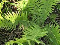 この植物はクサソテツでしょうか?道沿いにかなり広範囲で大量に咲いていたので、もしクサソテツだったら来年山菜として利用したいと思います。
