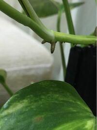 ポトスの葉の茎あたりから根みたいなものが出て成長しているのですが何の役割があるのですか? この根みたいな所からも水を吸う事はできるのですか?