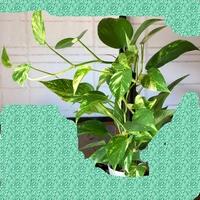 ポトス、観葉植物について。  初めてポトスを育てています。 できればこのまま垂らしながら育てたいのですが、折れてしまう事はありますか?