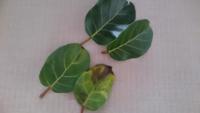 観葉植物フィカス、ゴムの木の仲間 アフリカンプリンセスです。 パラパラと健康そうな葉まで落ちてきます。 日照不足でしょうか? 水やりは乾いたらたっぷりです。