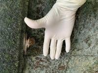 今日お墓の掃除していたら、こんな大きなカタツムリがいました。 最近カタツムリも毒があるものがいると聞いたことがありますが、これは子供が触っても大丈夫なものでしょうか?