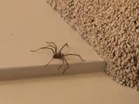 このクモはどの種類のクモでしょう?? お風呂場や部屋に出てくるので本当に困ってます。 脚が長くすばしっこいので見つけるたびに一瞬止まってしまいます。 そして害はないでしょうか??