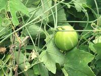 ツル性の雑草に実がついてました この植物の名前を教えてください また、この実は食べれますか?