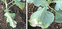うどんこ病?◆キャベツとブロッコリーの病気、対応策を教えて下さい。  家庭菜園の初心者です(バラは2年前から育ててますが、野菜は初めてです)。 9/15に、シャスター(ブロッコリー:画像左)と新藍しんらん(キャベツ:画像右)を植えたら、昨日9/17から葉っぱが白くなりました。 うどんこ病でしょうか?対応策を教えて下さい。 また、最終的には食べるのですけど、薬を使っても良いものでしょう...