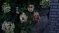 この紫陽花の花、落ちる気配がない  ~~~~~~~~~~~~~~~~~~~~  関西なんですが  自宅の門の横に咲いている紫陽花の花が  6月からまだ咲いていて落ちる気配がないです。 周りの家の紫陽...