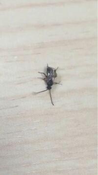 この羽虫はなんという名前ですか? 触覚と足が細長いのが印象的でした