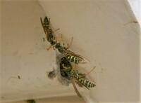 ハチの種類の同定についてのご相談です。  入居中の賃貸物件の階段裏に写真のハチが集まっているのを見つけました。 どうやら階段の中に巣を作っているように見受けられます。 こちらが近づくと寄って来る時もありますが、いまのところ積極的に攻撃してくる様子はありません。  小さなお子さんがいるご家庭も多数入居しているため、ハチには可哀そうですが、必要であれば巣の撤去を検討しています。 つき...
