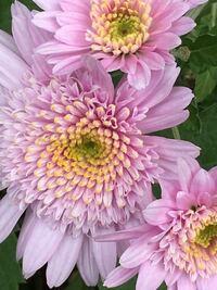 こちらの花はキク科の植物に属しているでしょうか。 花の名前を教えて下さい。