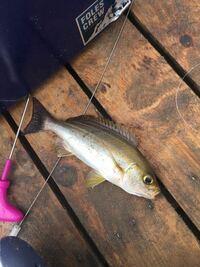 この魚はイサキの幼魚であってますか?