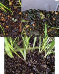 プランターで葉ねぎを栽培してたのですが 今朝、見に行ったら土が白い粉?のようなものに覆われてました また、別のプランターには、緑の粉?のようなものと雑草が生えてしまいました どうしてですか? また、食べられますか?