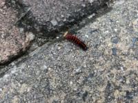 お隣さんが「あんたの家の敷地内に毛虫が湧いてる!毒あるし駆除するぞ!」と言われたのですが、家の前にいるのは写真の幼虫です。家の前にはサナギもあるし、トゲトゲのあるサナギの形や、赤と黒の毛虫のような幼虫 から、これはツマグロヒョウモンチョウの幼虫だと思うのですが、合ってますか? だとしたら無毒ですし、駆除して欲しくないのですが……