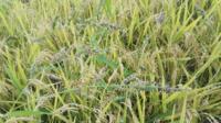 【水田雑草】この植物の正式名を知りたいです。私以外の水田でも生えた水田、生えない水田と差が出ました。 高低の高いところに多く出ましたが、効果的な薬剤などありましたら回答お願いします