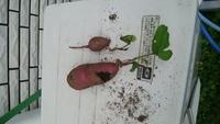 サツマイモを先月家庭菜園で収穫しました。 今朝耕していたら、取り残しのサツマイモが 出てきました。 葉が出てますがこれは普通に食べられますか? 種芋?とも思ったのですが、、、