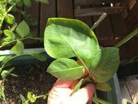 ホームセンターで種芋を買って植え付けたじゃがいもです。この葉っぱは奇形ですか?このまま育てても問題無いですか?