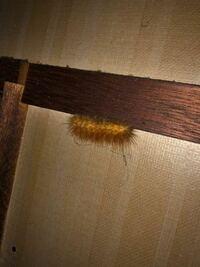 これはなんですか? 毛虫ですか? 毒持ってますか?