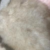 マルプー 2歳 ♀(毛色はアプリコット)を飼っているのですが、最近背中の毛先だけゴワゴワしていて、毛色がレッド系になっています。その他、頭、耳、足などは今までどおりの毛色です。 何か皮膚 に炎症が起きてい...