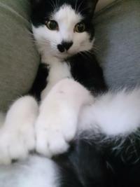 猫カテゴリーで白黒のハチワレを飼っているのは私だけですか?