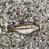 この魚の名前を教えてください。 神奈川県三浦市です。