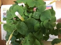 この花の名前分かりますか。葉っぱは、三つ葉のクローバーみたいなのです。