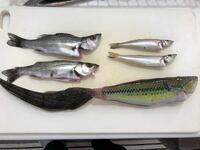 このスズキの種類を教えてください。浜名湖で釣りました。 シーバス セイゴ フッコ