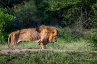 百獣の王と呼ばれるライオンですが、 歳老いて弱ったら、 シマウマを仕留める事すら困難になりますか?