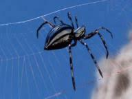 ハチやアリ、シロアリなどの社会性昆虫とクモやムカデなどの昆虫以外の節足動物の社会性機能の習得について質問です。 昔観たドキュメンタリー番組で、『フューチャー・イズ・ワイルド』という番組を観ていた際、クモが進化した種、「シルバースパイダー」というクモが出てくる(以下の画像)。 このクモは、 アリやハチ、シロアリのように社会性を構築しているそうだが、ここで質問です。 ハチやアリ、シロアリなど...