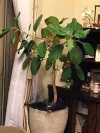 観葉植物に詳しい方、これの名前を教えて下さい。また、保管場所に困っているのですが、南向きベランダに置いても大丈夫でしょうか?