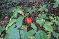 こちらの植物が、鳥取県の大山の下山キャンプ場付近に生えていました。 何という名前でしょうか?